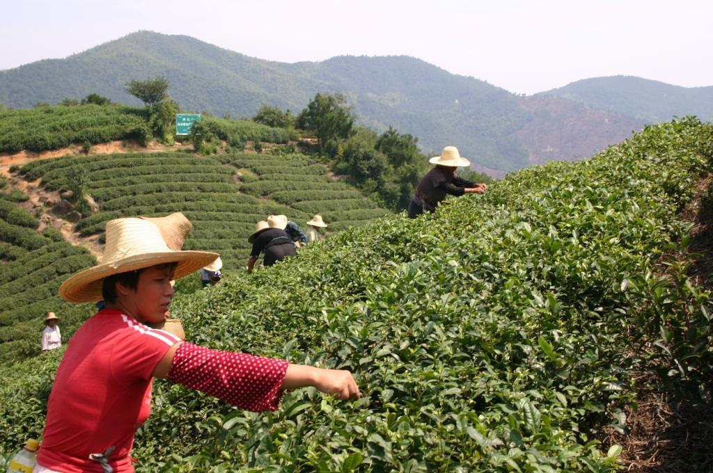 Виды чая из Китая