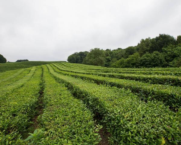Сочинский чай стал золотым призером на выставке в Париже