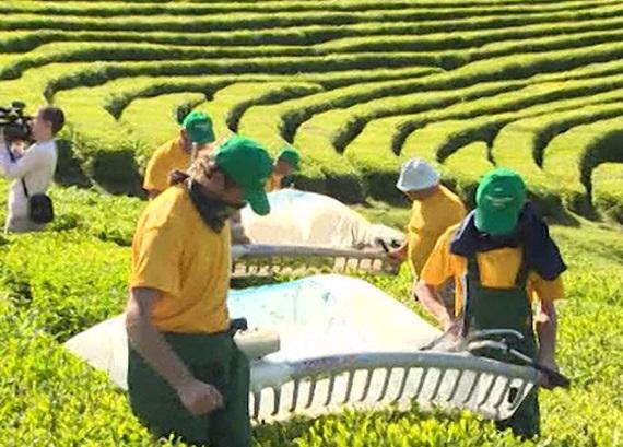 Кубанский чай удостоили золотых наград в Париже