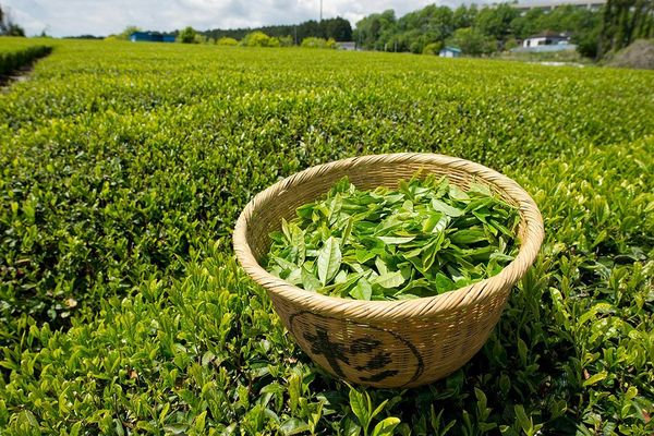 Зеленый чай улучшает работу мозга и снижает уровень стресса