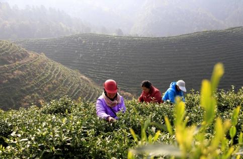 Тонкость листьев: как правильно заваривать китайский чай