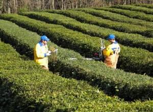 Зеленый кубанский чай завоевал платиновую медаль на конкурсе «Всероссийская Марка (III тысячелетие). Знак качества XXI века»