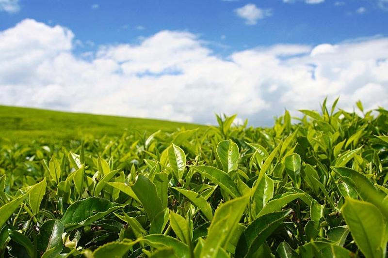 Кубанский чай признан лучшим на международной выставке в Арабских Эмиратах