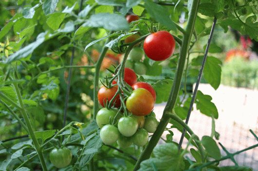 Особенности выращивания помидоров в теплице