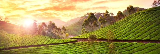 Sunny Plantation: узнайте вкус настоящего кофе и чая!