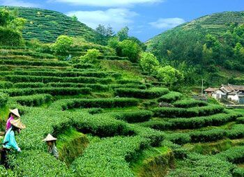 Вред чайным плантациям