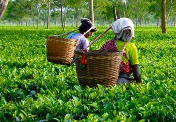 Кения хочет увеличить производство чая на 20%