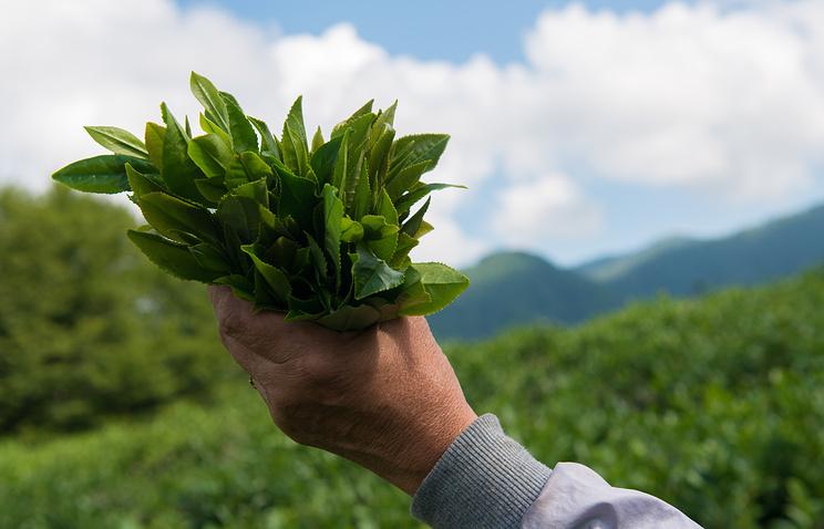 Самый северный чай в мире: Адыгея пробует новый туризм