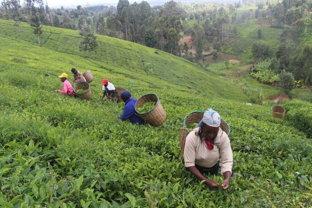 Кения планирует вдвое увеличить экспорт чая в Россию к 2020 году