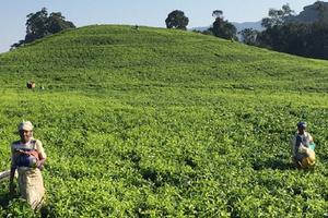 Оставить на чай: возможен ли дефицит популярного напитка к 2020 году