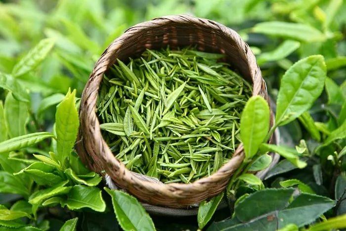 Зеленый чай уничтожает вирусы