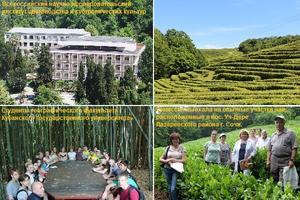 Ученые проводят эксперимент на чайных плантациях Адыгеи