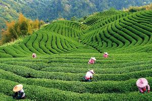 Шри-Ланка хочет помочь Турции стать «Центром чайного бизнеса»