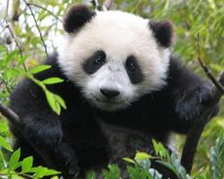 Чай из фекалий панд скоро появится на рынке