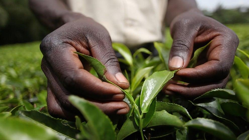 Как выращивают и изготавливают чай в жаркой Кении