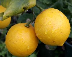 Лимон на страже вашего здоровья