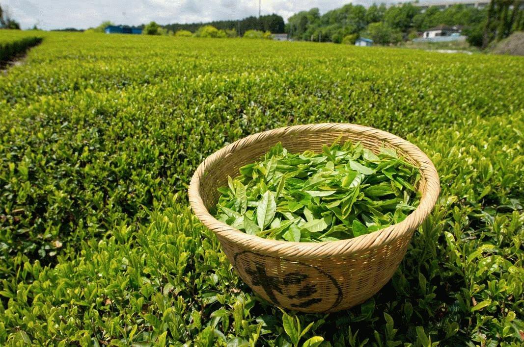 Полезный и коварный мятный чай