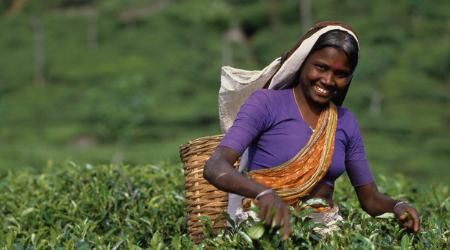 Как производится цейлонский чай