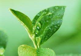 Зеленый чай спасет от солнца и ожогов на коже