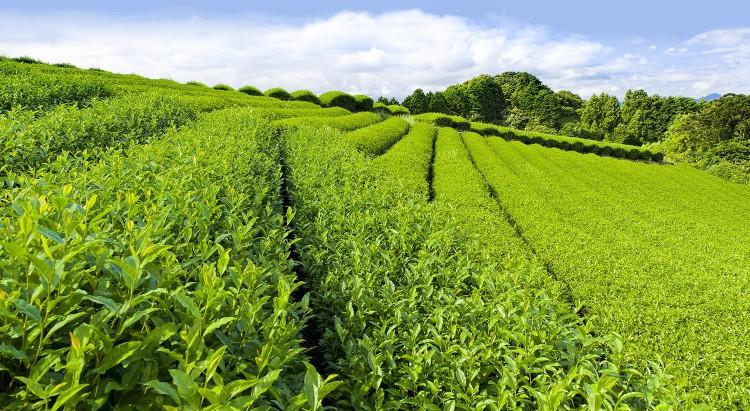 Воздействие зеленого чая на здоровье человека