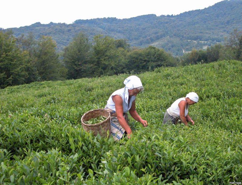 Выращивание чая в Грузии
