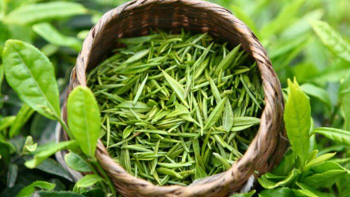 Диетологи рассказали, какой сорт зеленого чая сжигает жир