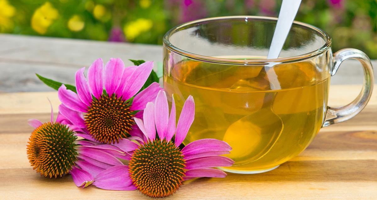 Защищает ли эхинацея от простуды