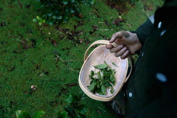История выращивания чая в Британии