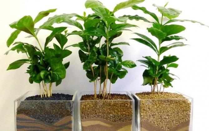 Выращивание кофейного дерева в домашних условиях и правила ухода