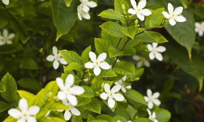 Цветёт жасмин, а может быть чубушник? Как правильно заготовить и использовать