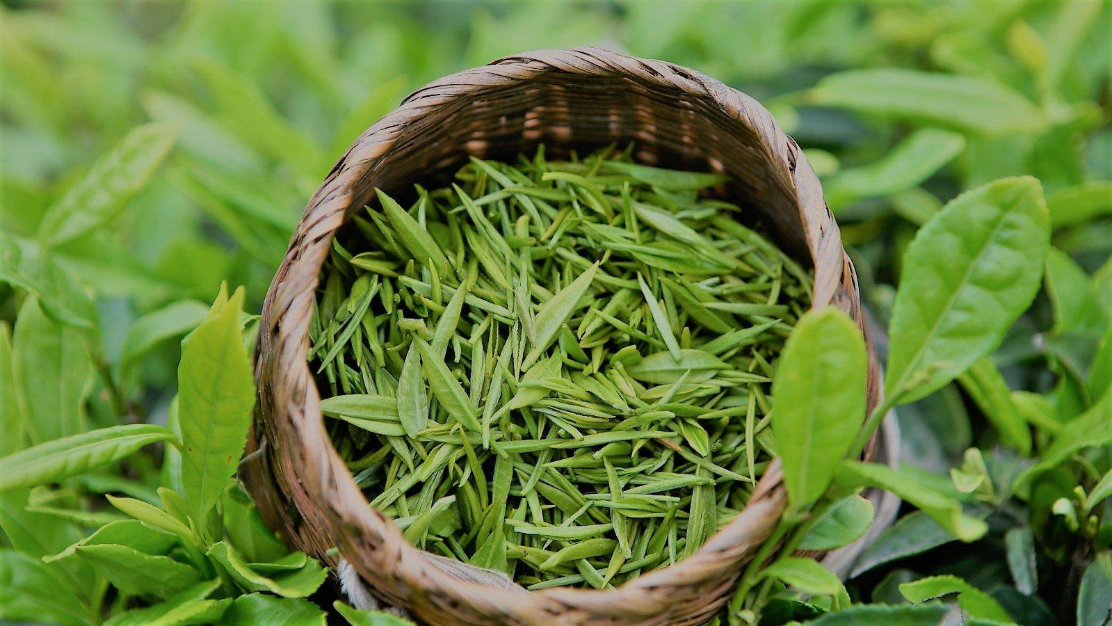 Что значит свежий чай или старый и как их различить