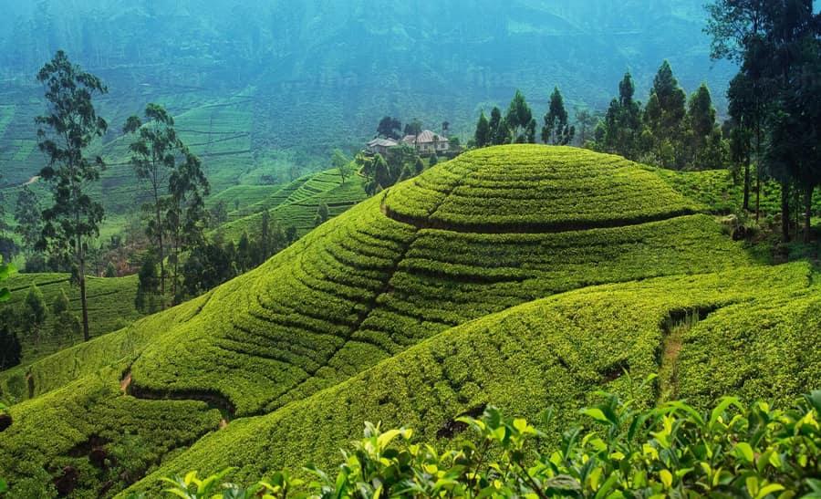 Чай как растение, условия для выращивания качественного чая