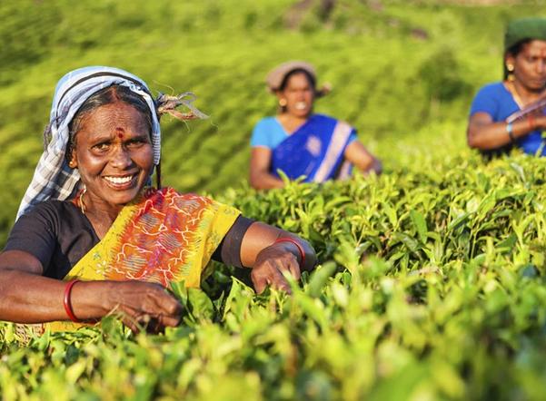 От дорогого дарджилинга до бюджетного ассама: самая полная энциклопедия по индийскому чаю