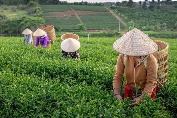 Терпкий весенний или ароматный осенний? Как время сбора чая влияет на его вкус и полезные свойства