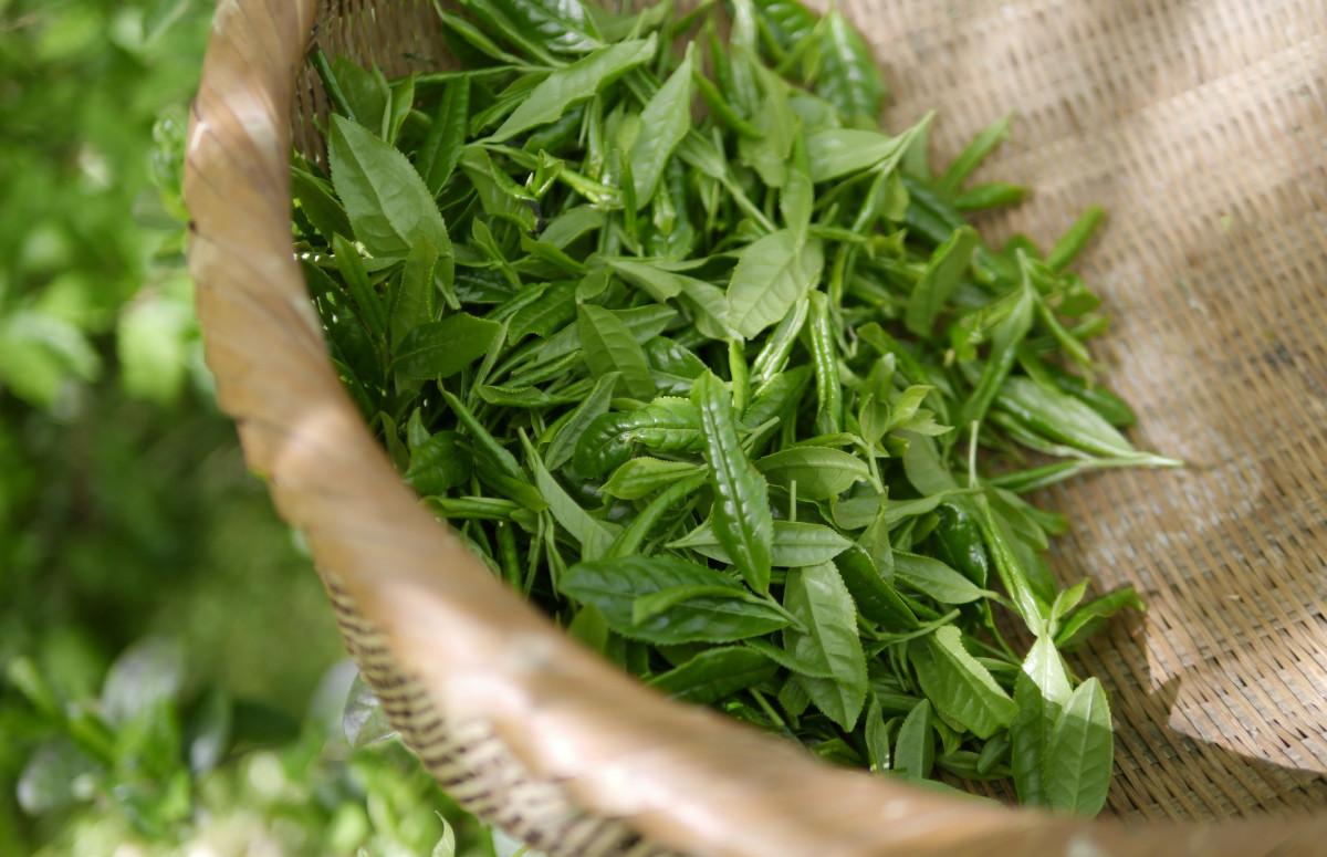 Зелёный чай уменьшает действие гипотензивных средств
